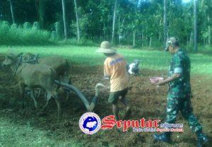 Babinsa Koramil Lenteng Sumenep Dampingi Petani Mengolah Lahan Pertanian Jagung